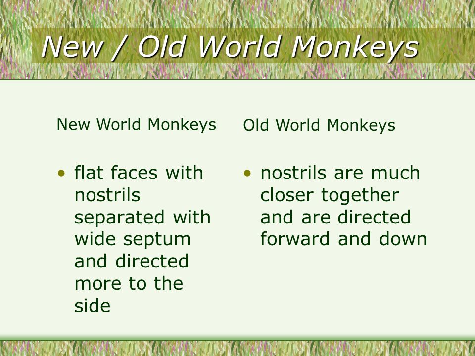 New / Old World Monkeys flat faces with nostrils separated with wide septum and directed more to the side nostrils are much closer together and are directed forward and down New World Monkeys Old World Monkeys
