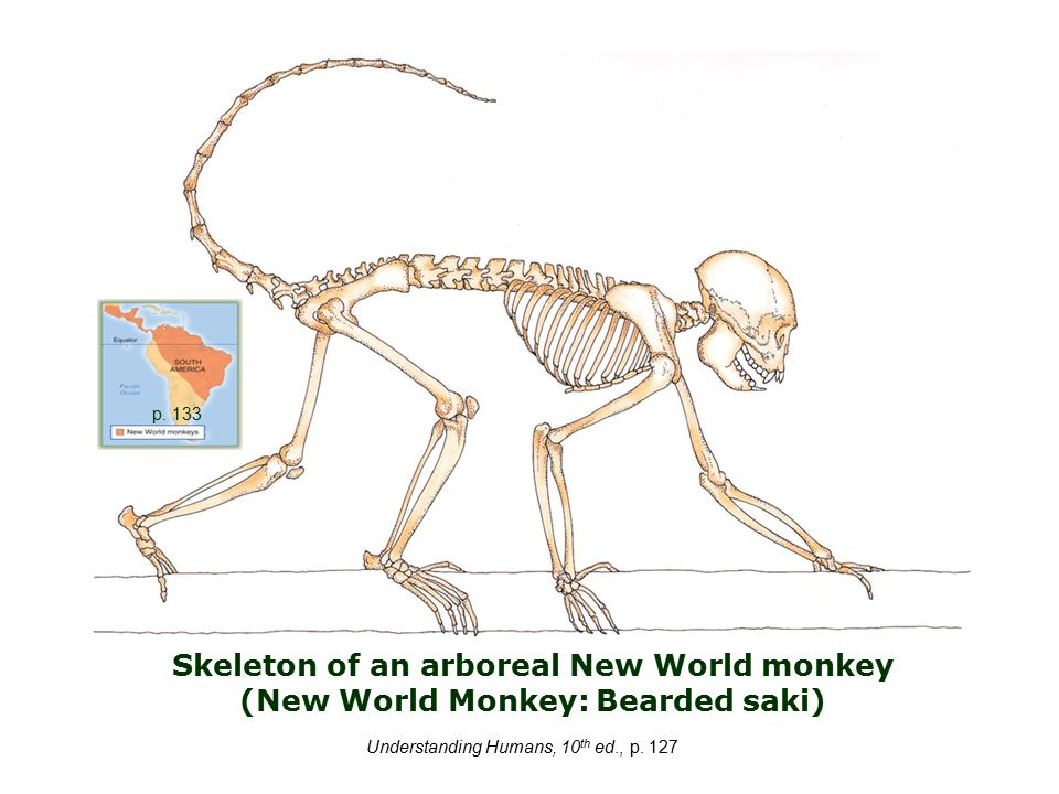 Skeleton of an arboreal New World monkey (New World Monkey: Bearded saki) Understanding Humans, 10 th ed., p.