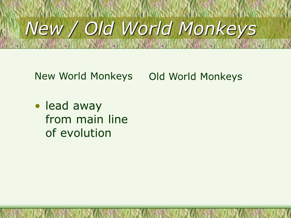 New / Old World Monkeys lead away from main line of evolution Old World Monkeys New World Monkeys