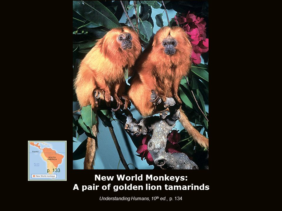New World Monkeys: A pair of golden lion tamarinds p. 133 Understanding Humans, 10 th ed., p. 134