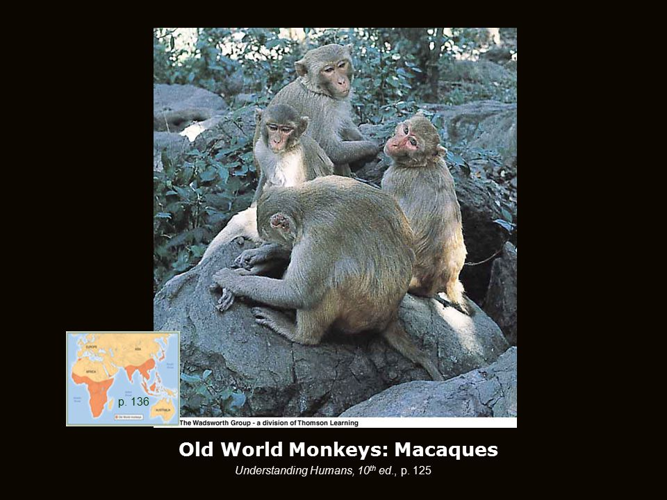 Old World Monkeys: Macaques p. 136 Understanding Humans, 10 th ed., p. 125