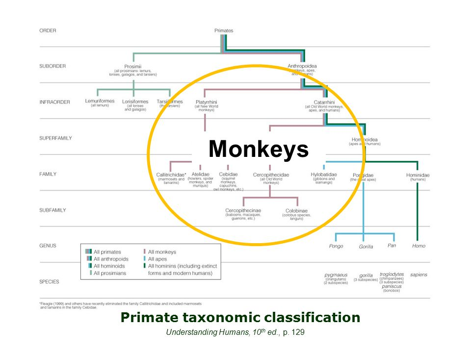 Primate taxonomic classification Understanding Humans, 10 th ed., p. 129 Monkeys