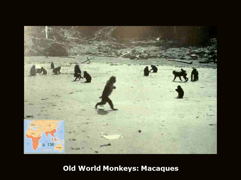 Old World Monkeys: Macaques