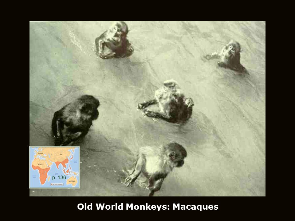p. 136 Old World Monkeys: Macaques