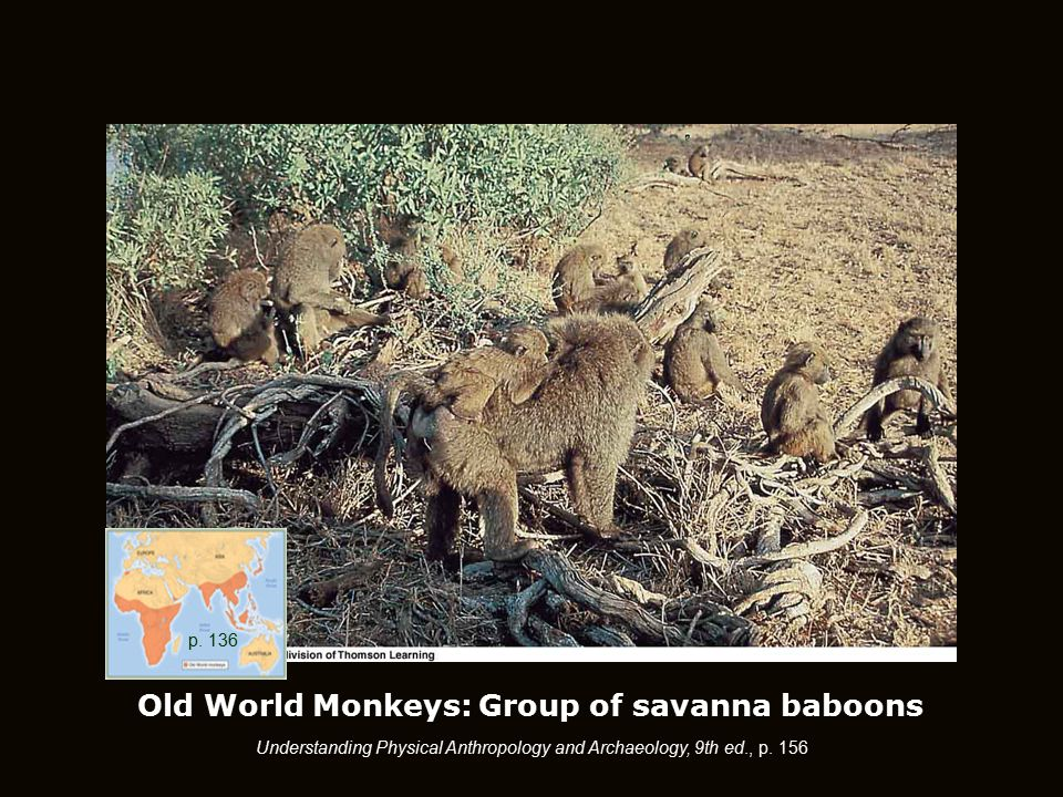 Old World Monkeys: Group of savanna baboons Understanding Physical Anthropology and Archaeology, 9th ed., p.