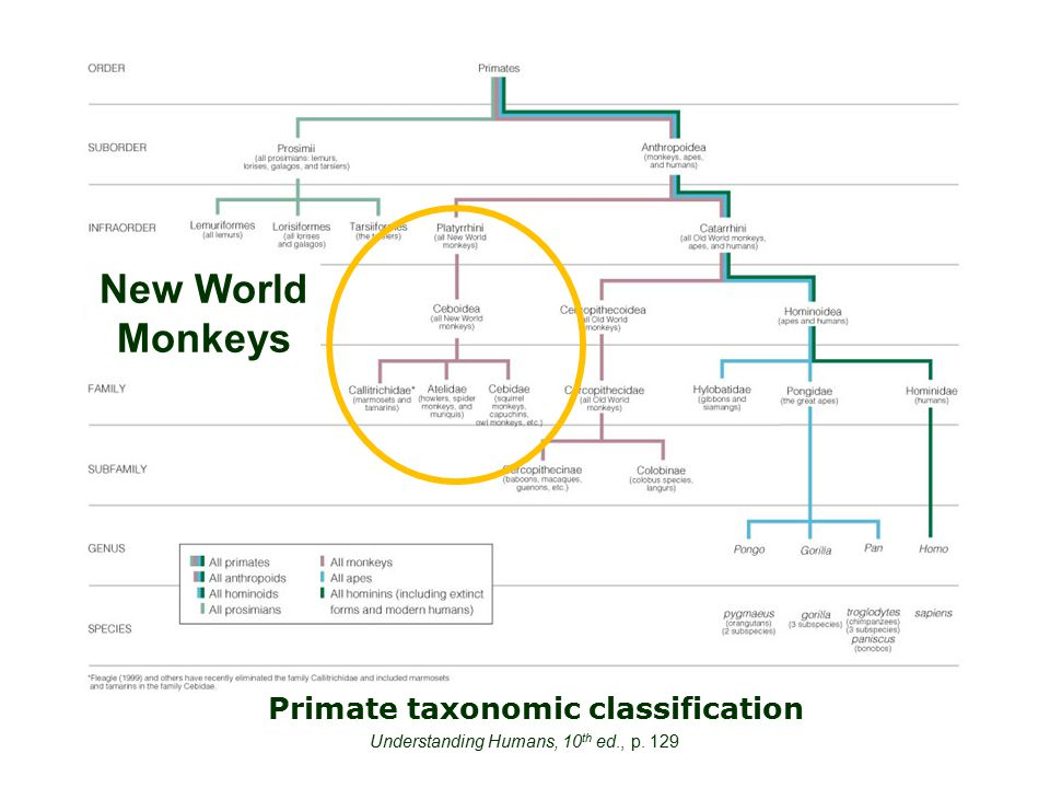 Primate taxonomic classification Understanding Humans, 10 th ed., p. 129 New World Monkeys