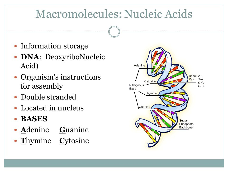 Macromolecules: Nucleic Acids Information storage DNA: DeoxyriboNucleic Acid) Organism's instructions for assembly Double stranded Located in nucleus BASES AdenineGuanine ThymineCytosine