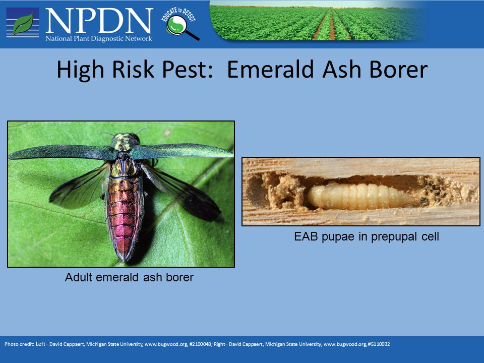 High Risk Pest: Emerald Ash Borer Photo credit: Left - David Cappaert, Michigan State University, www.bugwood.org, #2100048; Right– David Cappaert, Michigan State University, www.bugwood.org, #5110032 Adult emerald ash borer EAB pupae in prepupal cell