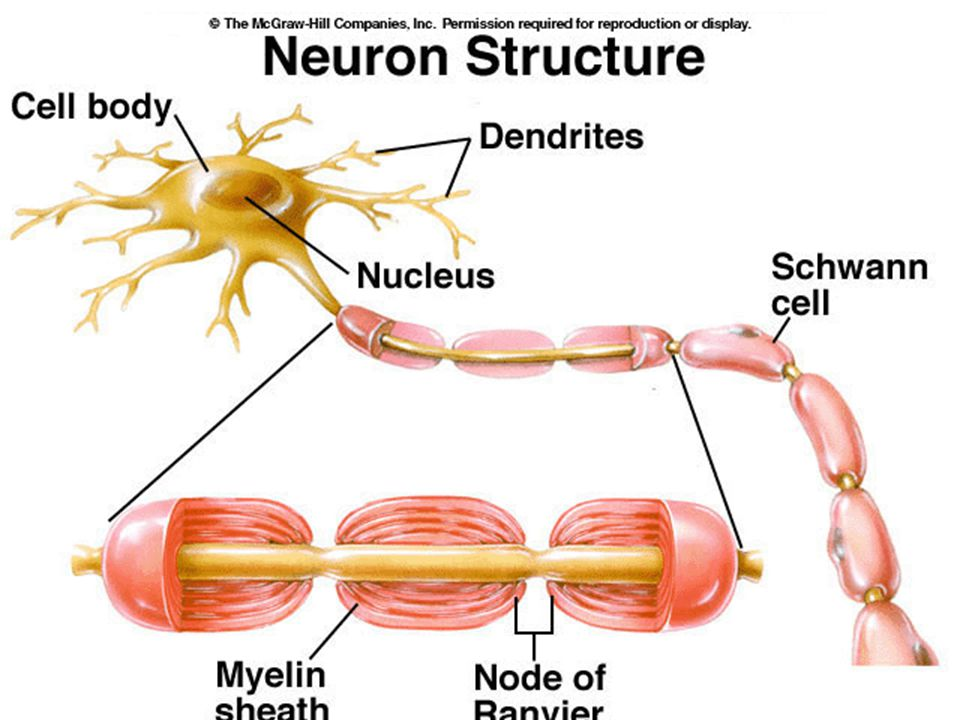 Neuron nervous system ppt video online download 23 dendrite fine hair like extensions on the end of a neuron function receive incoming stimuli cell body or soma the control center of the neuron ccuart Gallery