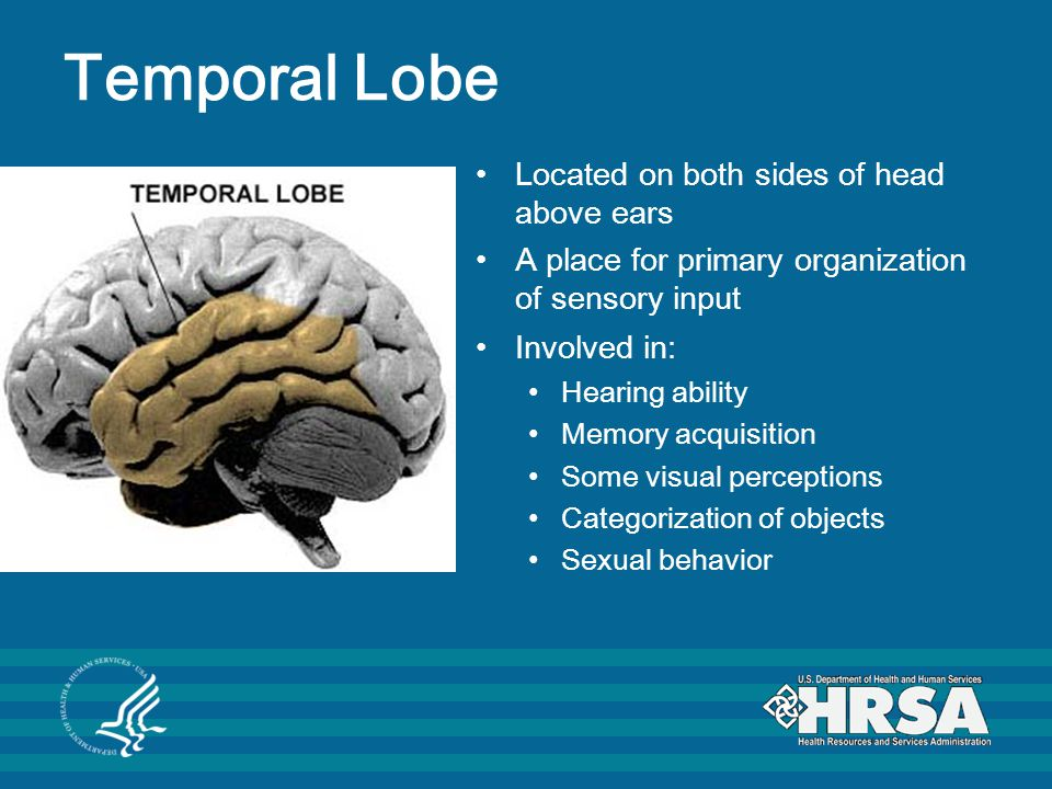 Temporal Lobe Located on both sides of head above ears A place for primary organization of sensory input Involved in: Hearing ability Memory acquisition Some visual perceptions Categorization of objects Sexual behavior