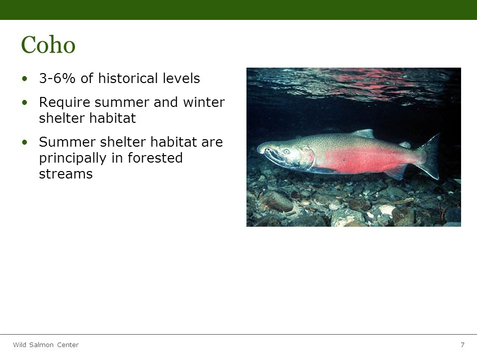 Wild Salmon Center7 Coho 3-6% of historical levels Require summer and winter shelter habitat Summer shelter habitat are principally in forested streams