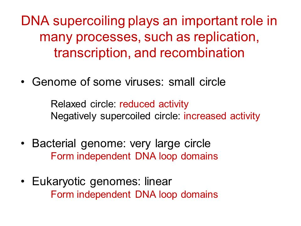 DNA supercoiling plays an important role in many processes, such as replication, transcription, and recombination Genome of some viruses: small circle Relaxed circle: reduced activity Negatively supercoiled circle: increased activity Bacterial genome: very large circle Form independent DNA loop domains Eukaryotic genomes: linear Form independent DNA loop domains