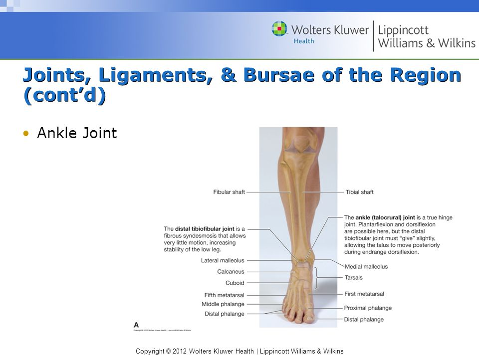 Copyright © 2012 Wolters Kluwer Health | Lippincott Williams & Wilkins Joints, Ligaments, & Bursae of the Region (cont'd) Ankle Joint
