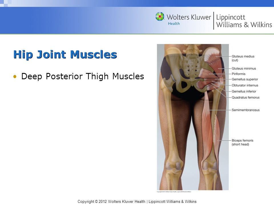 Copyright © 2012 Wolters Kluwer Health | Lippincott Williams & Wilkins Hip Joint Muscles Deep Posterior Thigh Muscles