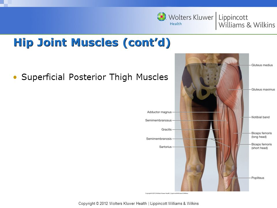 Copyright © 2012 Wolters Kluwer Health | Lippincott Williams & Wilkins Hip Joint Muscles (cont'd) Superficial Posterior Thigh Muscles