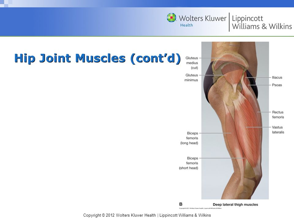 Copyright © 2012 Wolters Kluwer Health | Lippincott Williams & Wilkins Hip Joint Muscles (cont'd)