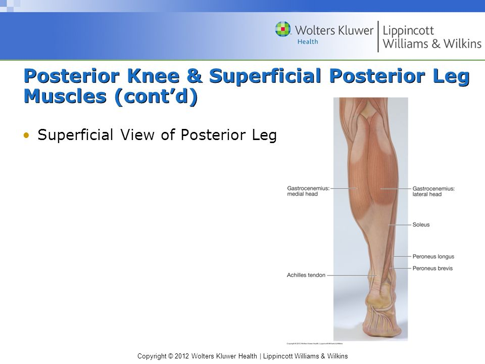Copyright © 2012 Wolters Kluwer Health | Lippincott Williams & Wilkins Posterior Knee & Superficial Posterior Leg Muscles (cont'd) Superficial View of Posterior Leg