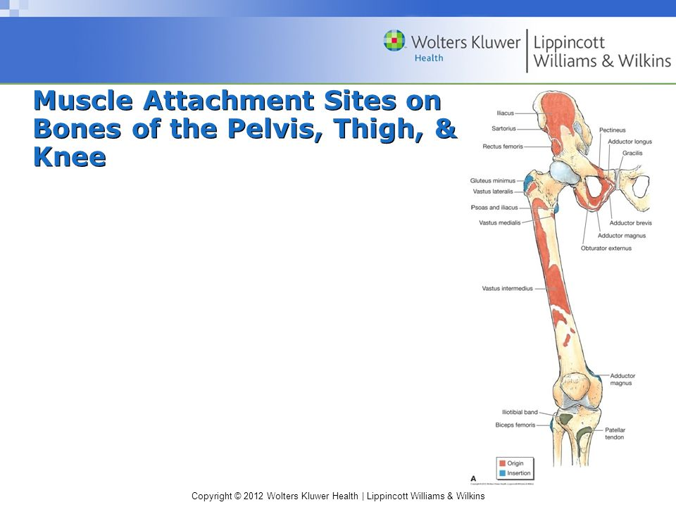 Copyright © 2012 Wolters Kluwer Health | Lippincott Williams & Wilkins Muscle Attachment Sites on Bones of the Pelvis, Thigh, & Knee