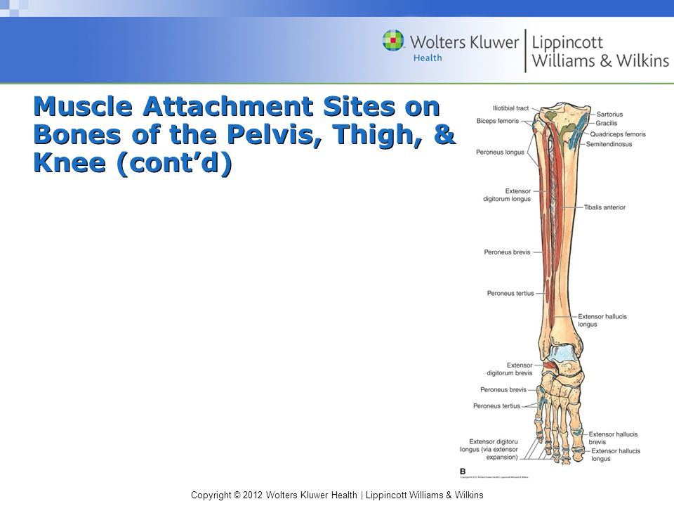 Copyright © 2012 Wolters Kluwer Health | Lippincott Williams & Wilkins Muscle Attachment Sites on Bones of the Pelvis, Thigh, & Knee (cont'd)