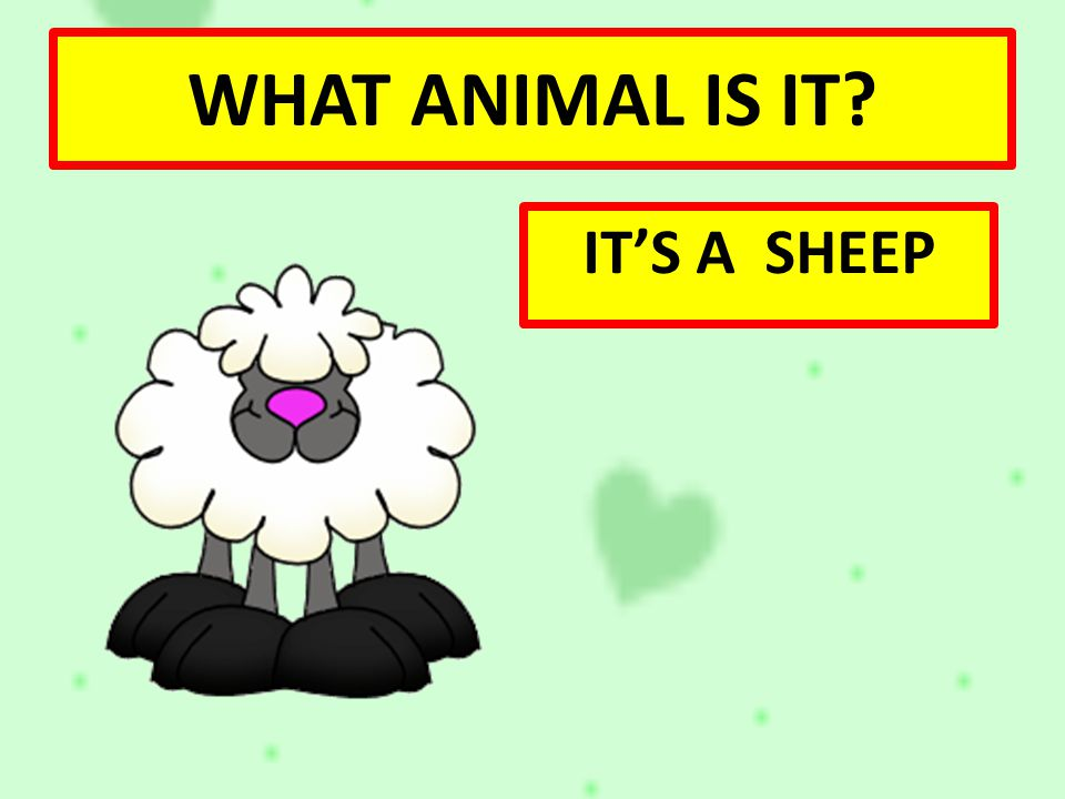 WHAT ANIMAL IS IT IT'S A SHEEP