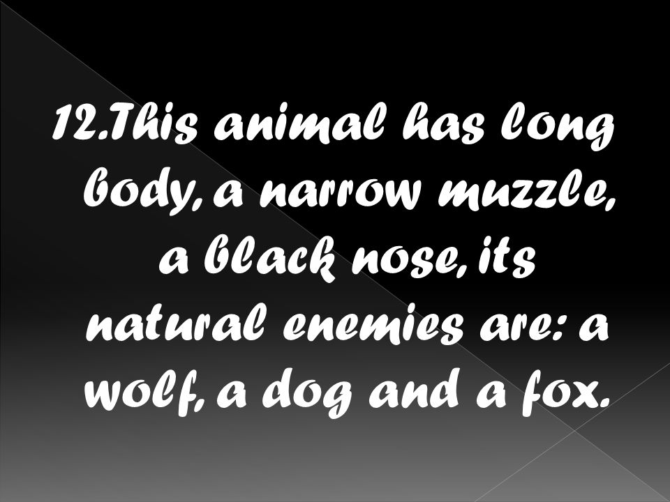 12.This animal has long body, a narrow muzzle, a black nose, its natural enemies are: a wolf, a dog and a fox.
