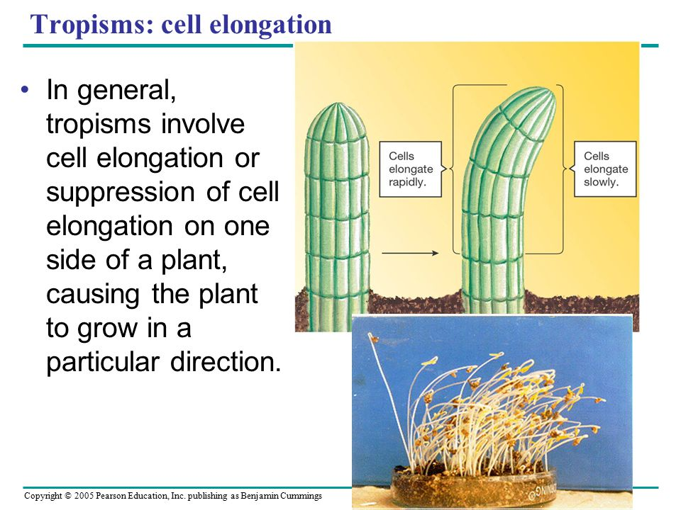 Tropisms: cell elongation In general, tropisms involve cell elongation or suppression of cell elongation on one side of a plant, causing the plant to grow in a particular direction.
