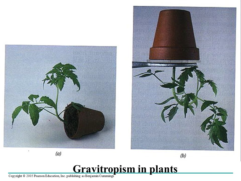 Gravitropism in plants