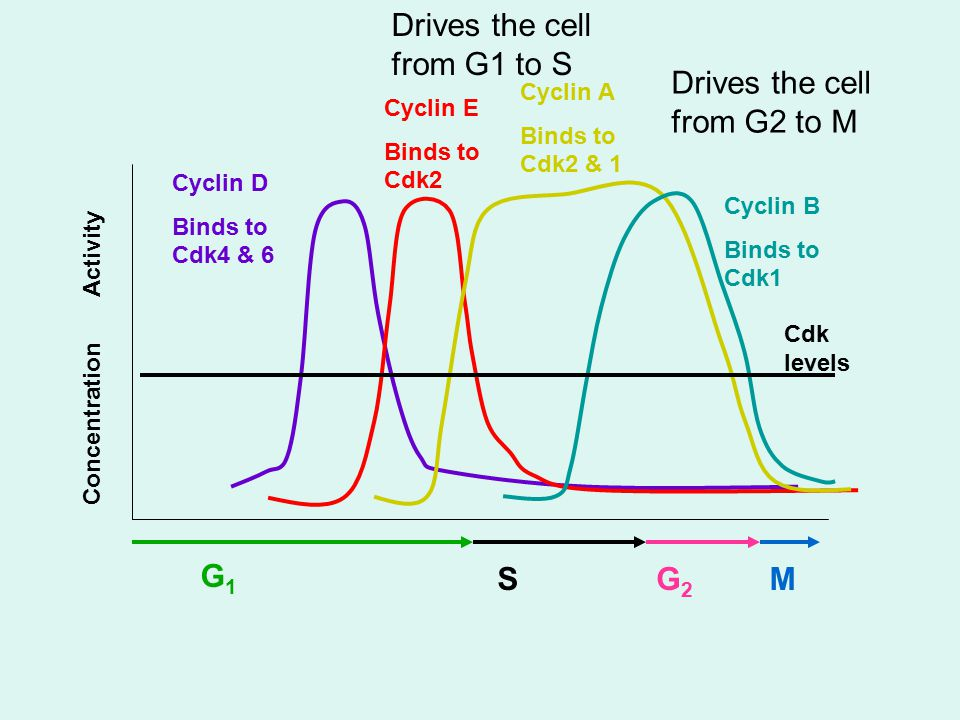 G1G1 SG2G2 M Cyclin D Binds to Cdk4 & 6 Cyclin E Binds to Cdk2 Cyclin A Binds to Cdk2 & 1 Cyclin B Binds to Cdk1 Cdk levels Concentration Activity Drives the cell from G1 to S Drives the cell from G2 to M