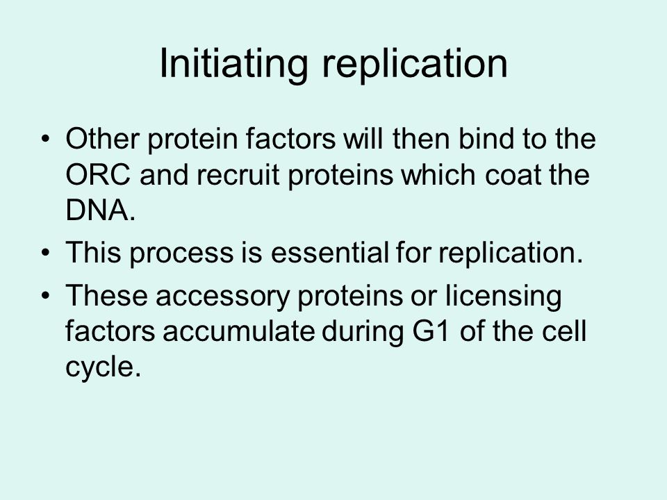 Initiating replication Other protein factors will then bind to the ORC and recruit proteins which coat the DNA.