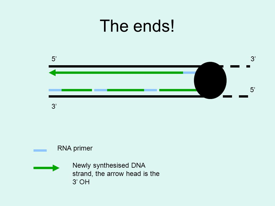 The ends! 3' 5'3' 5' RNA primer Newly synthesised DNA strand, the arrow head is the 3' OH