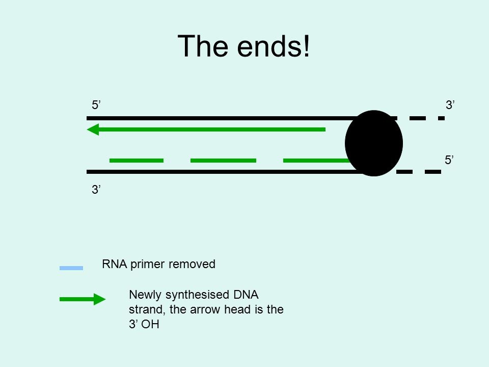 The ends! 3' 5'3' 5' RNA primer removed Newly synthesised DNA strand, the arrow head is the 3' OH