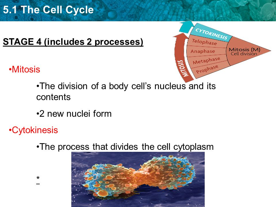 5.1 The Cell Cycle Mitosis The division of a body cell's nucleus and its contents 2 new nuclei form Cytokinesis The process that divides the cell cytoplasm * STAGE 4 (includes 2 processes)