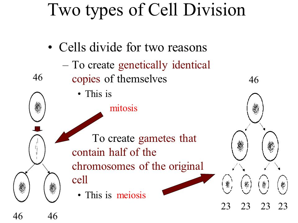Two types of Cell Division Cells divide for two reasons –To create genetically identical copies of themselves This is mitosis – To create gametes that contain half of the chromosomes of the original cell This is meiosis 46 23 23 23 23