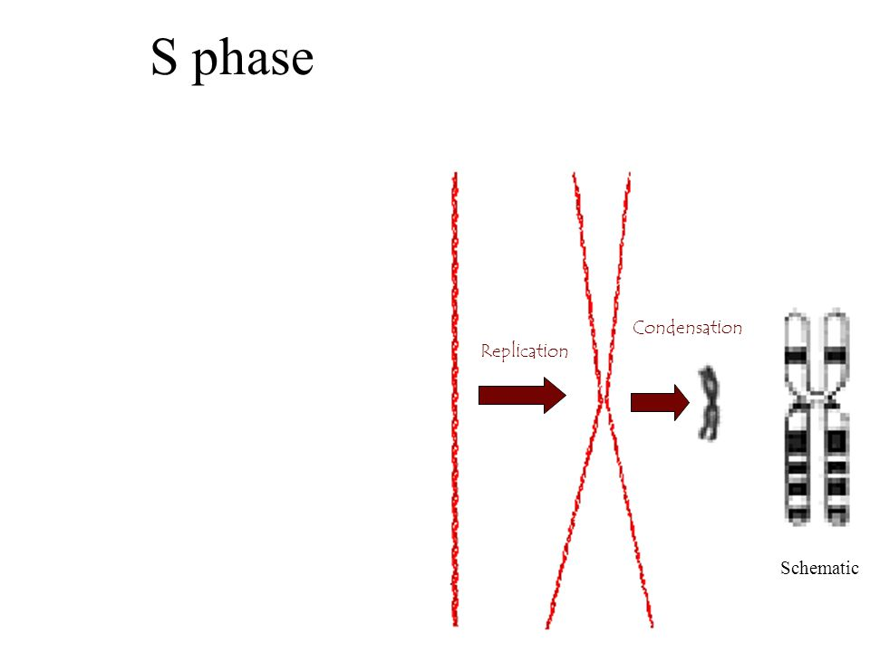 S phase Replication Condensation Schematic