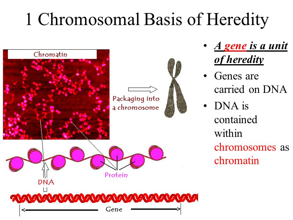 1 Chromosomal Basis of Heredity A gene is a unit of heredity Genes are carried on DNA DNA is contained within chromosomes as chromatin