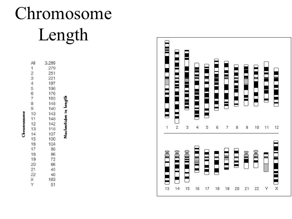 Chromosome Length