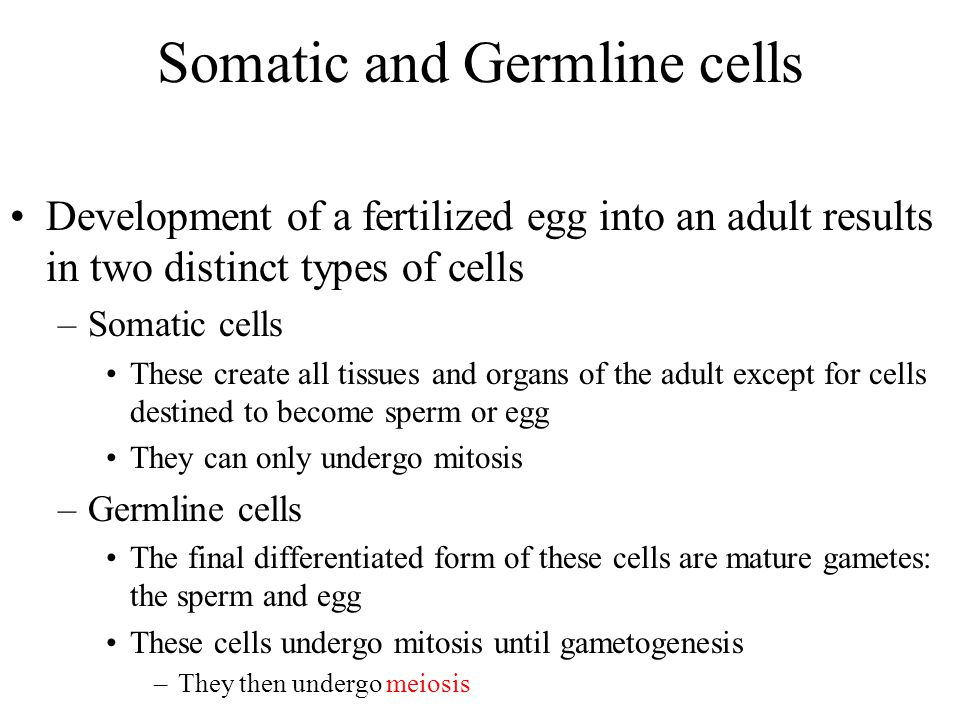 Somatic and Germline cells Development of a fertilized egg into an adult results in two distinct types of cells –Somatic cells These create all tissues and organs of the adult except for cells destined to become sperm or egg They can only undergo mitosis –Germline cells The final differentiated form of these cells are mature gametes: the sperm and egg These cells undergo mitosis until gametogenesis –They then undergo meiosis
