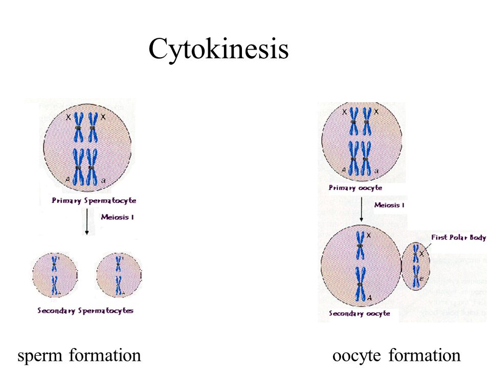 Cytokinesis sperm formationoocyte formation