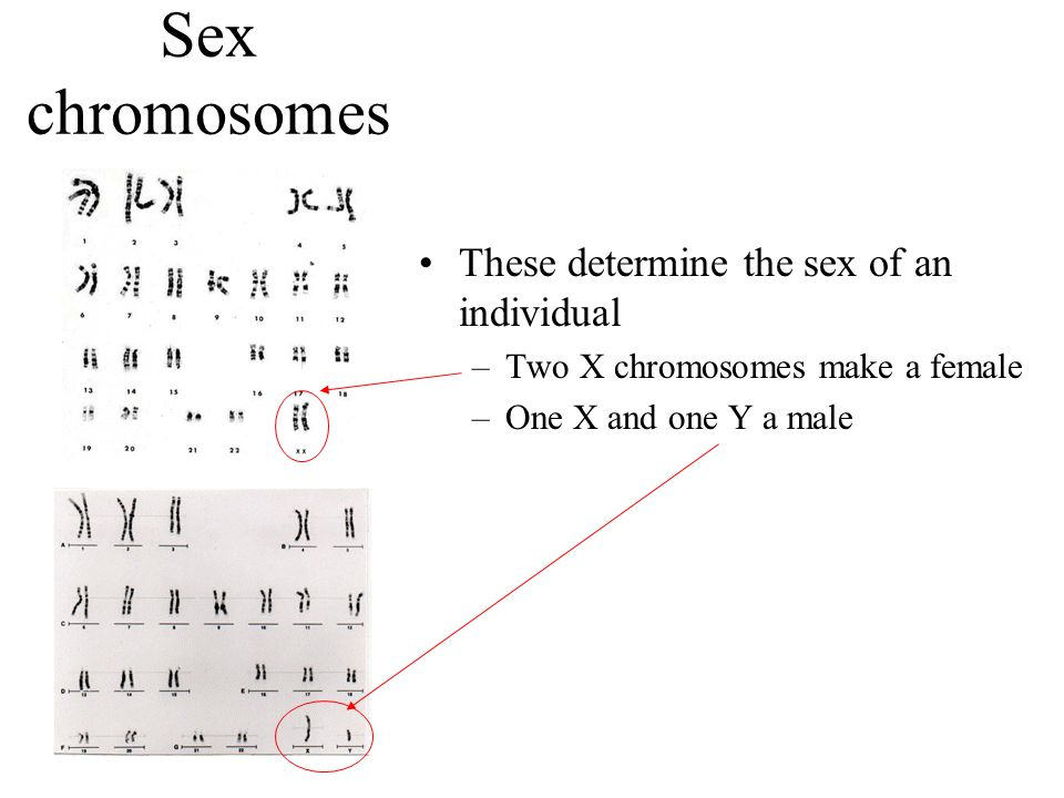 Sex chromosomes These determine the sex of an individual –Two X chromosomes make a female –One X and one Y a male
