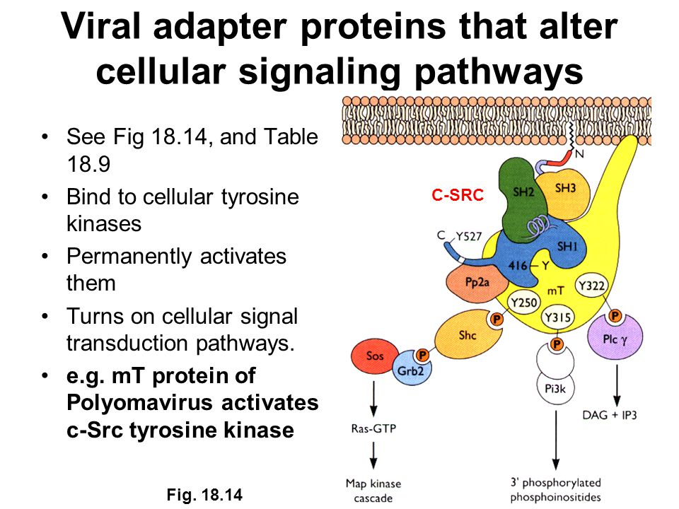 Viral adapter proteins that alter cellular signaling pathways See Fig 18.14, and Table 18.9 Bind to cellular tyrosine kinases Permanently activates them Turns on cellular signal transduction pathways.