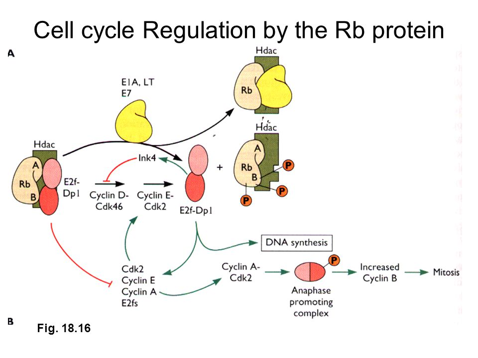 Cell cycle Regulation by the Rb protein Fig