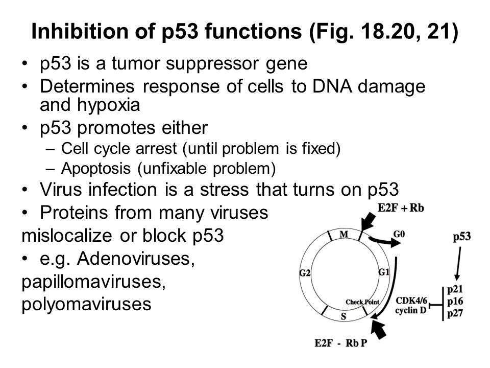 Inhibition of p53 functions (Fig.
