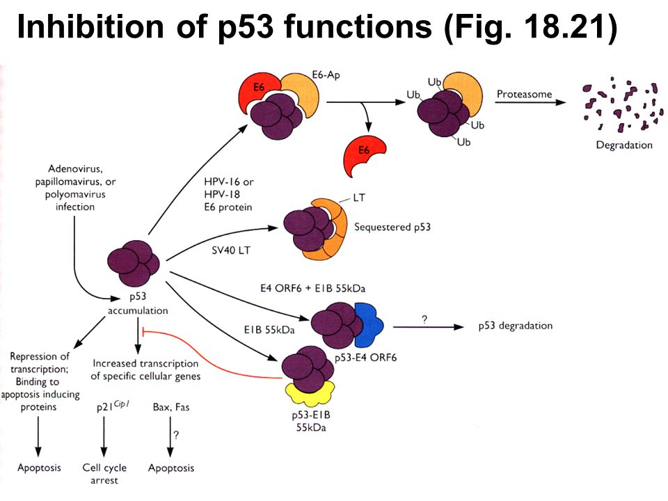 Inhibition of p53 functions (Fig )