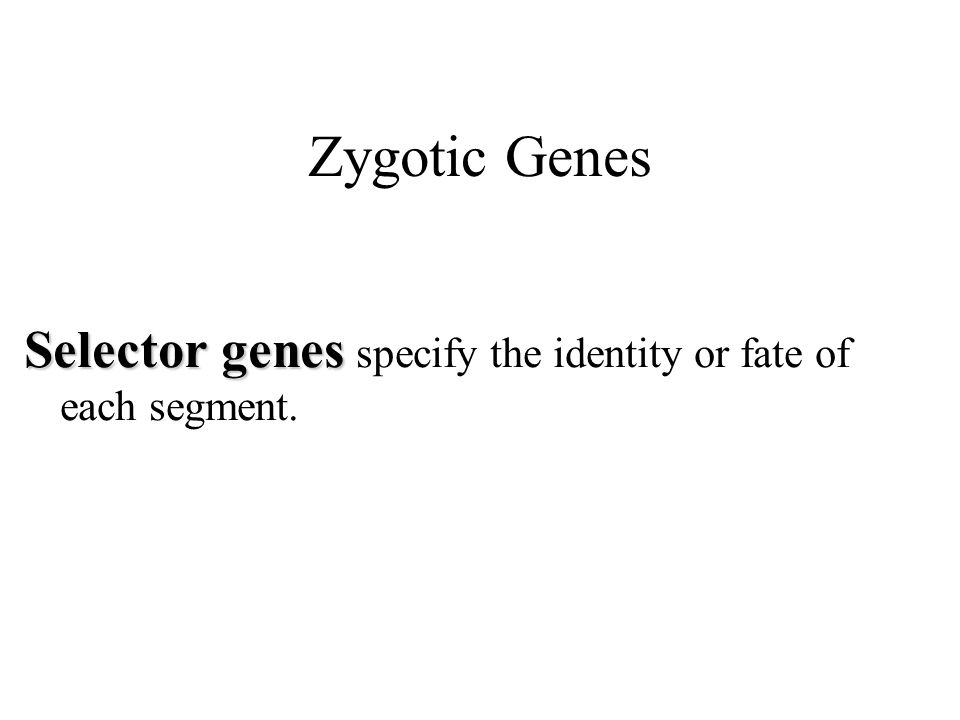 Zygotic Genes Selector genes Selector genes specify the identity or fate of each segment.