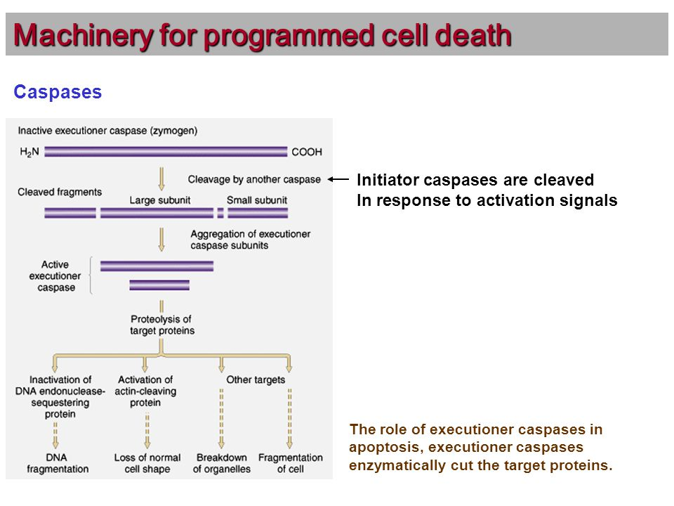 Caspases Machinery for programmed cell death The role of executioner caspases in apoptosis, executioner caspases enzymatically cut the target proteins.