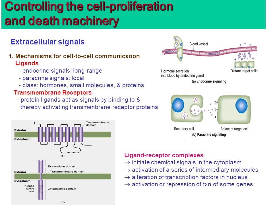 Controlling the cell-proliferation and death machinery Extracellular signals 1.