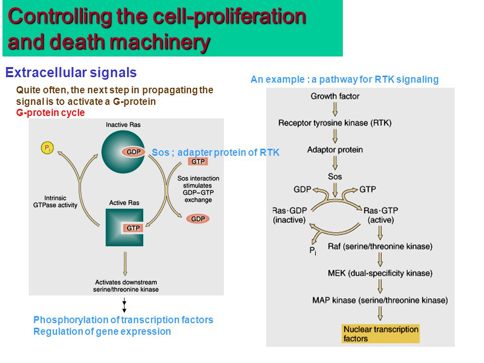 Quite often, the next step in propagating the signal is to activate a G-protein G-protein cycle Controlling the cell-proliferation and death machinery Extracellular signals An example : a pathway for RTK signaling Sos ; adapter protein of RTK Phosphorylation of transcription factors Regulation of gene expression