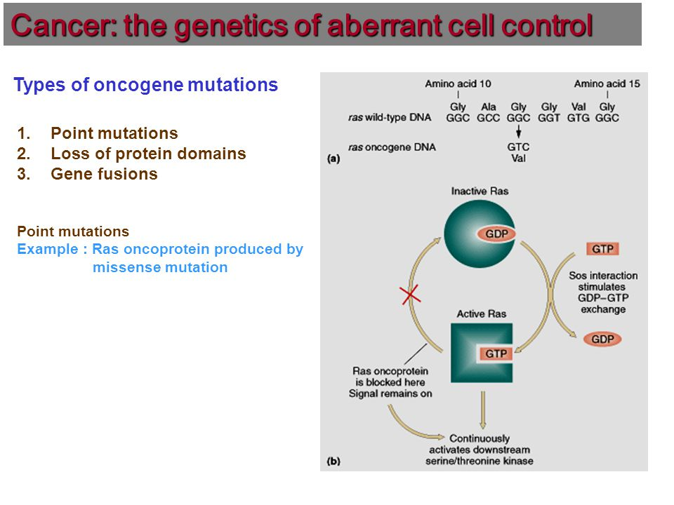 Types of oncogene mutations 1.Point mutations 2.Loss of protein domains 3.Gene fusions Point mutations Example : Ras oncoprotein produced by missense mutation Cancer: the genetics of aberrant cell control