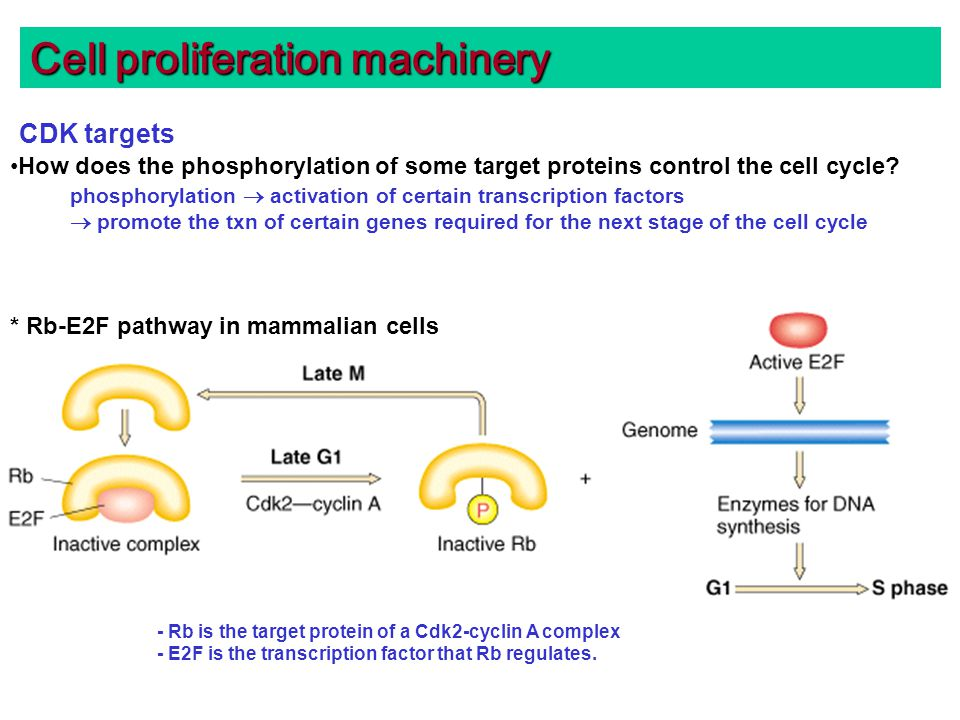 Cell proliferation machinery CDK targets How does the phosphorylation of some target proteins control the cell cycle.