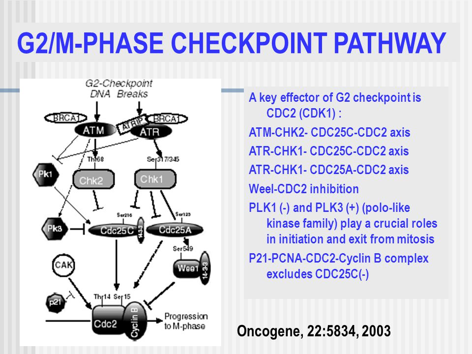 G2/M-PHASE CHECKPOINT PATHWAY Oncogene, 22:5834, 2003 A key effector of G2 checkpoint is CDC2 (CDK1) : ATM-CHK2- CDC25C-CDC2 axis ATR-CHK1- CDC25C-CDC2 axis ATR-CHK1- CDC25A-CDC2 axis Weel-CDC2 inhibition PLK1 (-) and PLK3 (+) (polo-like kinase family) play a crucial roles in initiation and exit from mitosis P21-PCNA-CDC2-Cyclin B complex excludes CDC25C(-)